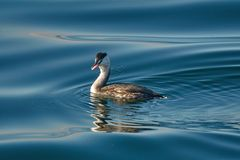 Great crested grebe Podiceps cristatus, waterfowl is in the water of Lake Zug.  stock photo