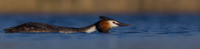 Great Crested Grebe Podiceps Cristatus  Royalty Free Stock Images