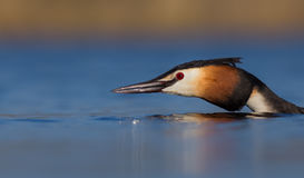 Great Crested Grebe Podiceps Cristatus Stock Images