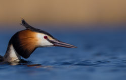 Great Crested Grebe Podiceps Cristatus  Stock Photos