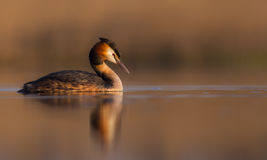Great Crested Grebe  Podiceps Cristatus Royalty Free Stock Image