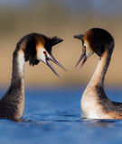 Great Crested Grebe Podiceps Cristatus. At the wetland. Early spring morning. Portrait. Wedding dances royalty free stock images