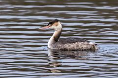 Great Crested Grebe - Podiceps cristatus in winter plumage late December. A Great Crested Grebe - Podiceps cristatus, the largest European Grebe in winter royalty free stock photography