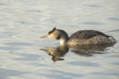 Great Crested Grebe Stock Photography