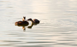 Great Crested Grebe or Podiceps Royalty Free Stock Photography