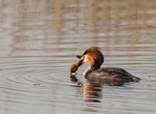 Great Crested Grebe with preyed crab Stock Images