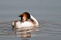 Great crested grebe river po delta Stock Photography