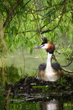 Great Crested Grebe sitting on nest Stock Photo