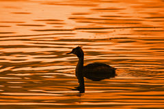 Great crested grebe at sunset Royalty Free Stock Images