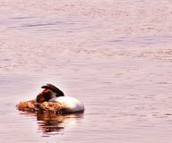 Great Crested Grebe In Sunshine stock photos