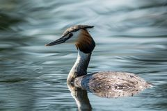 Great crested grebe in Sweden royalty free stock image
