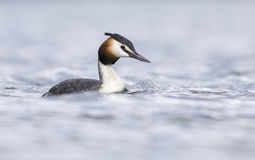 Great Crested Grebe. Swimming in the lake Stock Photo