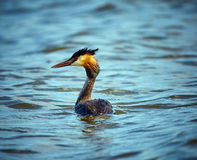 Great crested grebe swimming Royalty Free Stock Photo