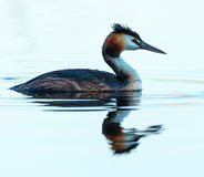 Great crested grebe swimming Stock Images