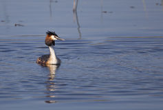 Great Crested Grebe (Podiceps cristatus). A great crested grebe is swimming on a pond Royalty Free Stock Photo