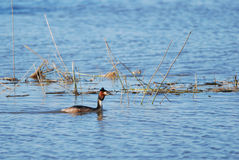 Great Crested Grebe. Swimming in spring Royalty Free Stock Photo