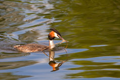 Great crested grebe. Podiceps cristatus. Royalty Free Stock Photos