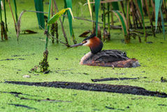 Great crested grebe swims carrying its young on its back Stock Photography