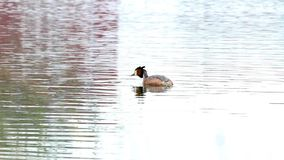 Great Crested Grebe stock video footage