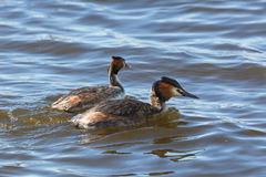 Great crested grebe in the water Stock Photography