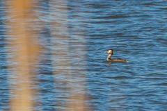 Great crested grebe on water Podiceps cristatus. Wildlife wildlife stock images