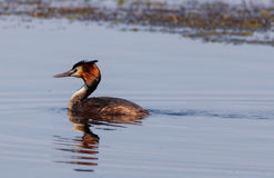 Great crested grebe on water Stock Image
