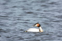 Great Crested Grebe in water Stock Photo