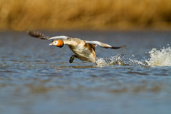 Great Crested Grebe, waterbird (Podiceps cristatus Stock Image