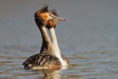 Great Crested Grebe, waterbird (Podiceps cristatus Stock Images