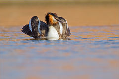 Great Crested Grebe, waterbird (Podiceps cristatus Royalty Free Stock Photography