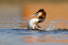 Great Crested Grebe, waterbird (Podiceps cristatus Stock Photo