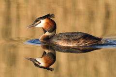 Great Crested Grebe, waterbird (Podiceps cristatus. ) in refection royalty free stock images