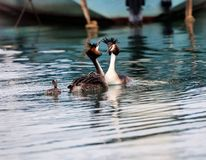 Great Crested Grebe, waterbird Podiceps cristatus Royalty Free Stock Photo