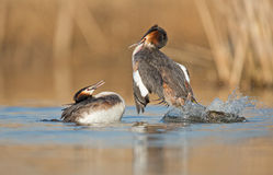 Great Crested Grebe Royalty Free Stock Photos