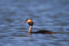 Great Crested Grebe, waterbird (Podiceps cristatus) Stock Photos