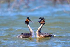 Great Crested Grebe, waterbird Podiceps cristatus in mating season. Great Crested Grebe, waterbird in mating season stock image
