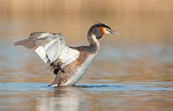 Great Crested Grebe Stock Images