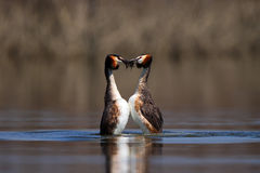Great Crested Grebe, waterbird (Podiceps cristatus) in mating season Stock Photo