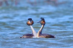 Great Crested Grebe, waterbird Podiceps cristatus in mating season. Great Crested Grebe, waterbird in mating season royalty free stock photos