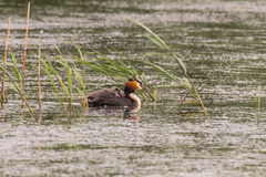 Great crested grebe & x28;Podiceps cristatus& x29; with chick on back Stock Photo
