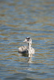 Great crested Grebe. Young baby great crested grebe Stock Photography