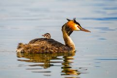 Great crested grebe with a young one royalty free stock photos