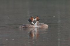 Great crested grebes. A pair of great crested grebes pairing Stock Photo