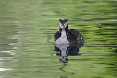 Great crested grebes with chicks Stock Photos
