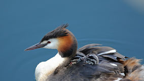 Great crested grebes with chicks