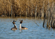 Great Crested Grebes courting Stock Photography