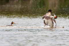 Great Crested Grebes Fighting. Two Great crested grebes at spring time in Eastbrookend Country Park in Dahenham fighting for female royalty free stock photo
