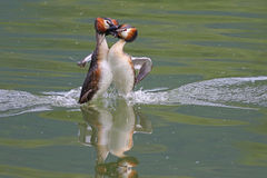 Great crested grebes mating dance Stock Image