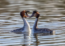 Great Crested Grebes - Podiceps cristatus Stock Images