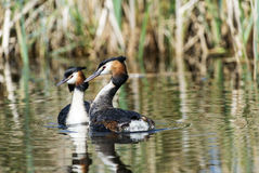 Great crested grebes Stock Photography